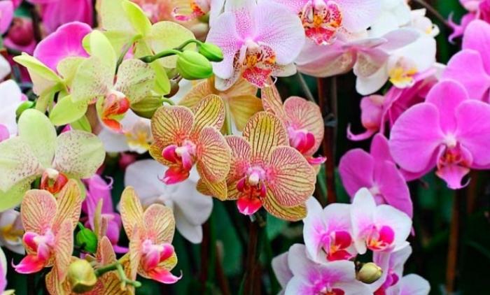 Três Coroas terá exposição de orquídeas e bonsais