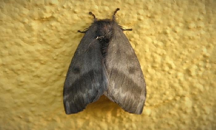 Época de reprodução de mariposas leva Secretaria de Saúde de Sapiranga a emitir alerta